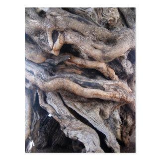 1000 years older olive tree postcard