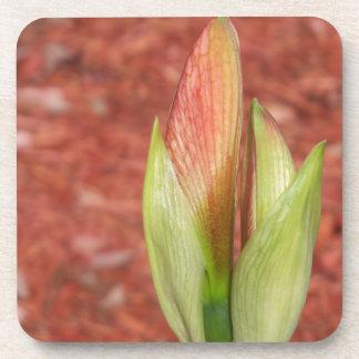 102a Amaryllis Apple blossom bud Coaster