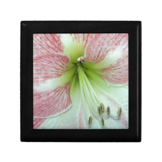 104a Amaryllis Apple Blossom open 2 Gift Box