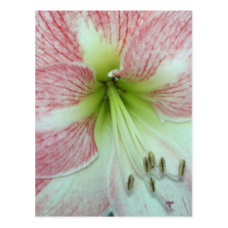 104a Amaryllis Apple Blossom open 2 Postcard