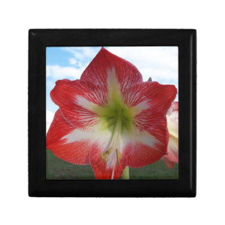 106a Amaryllis red and white MegaStar2 Gift Box