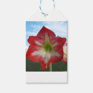 106a Amaryllis red and white MegaStar2 Gift Tags