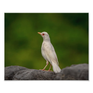 10x8 Albino Robin in Crown Point Photo Print