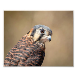 10x8 American Kestrel Photo