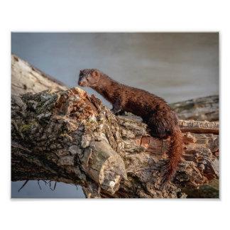 10x8 American Mink Photo Print
