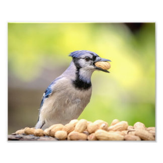 10x8 Blue jay with a peanut Photo Print