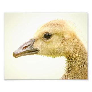 10x8 Canadian Goose (Gosling) Photo Print