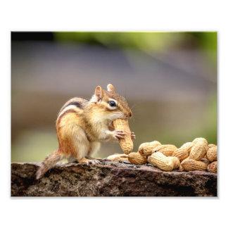 10x8 Chipmunk eating a peanut Photo Print