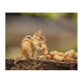 10x8 Chipmunk eating a peanut Wood Print