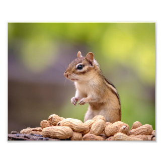 10x8 Chipmunk with peanuts Photo Print
