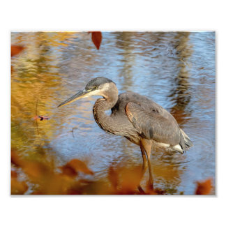 10x8 Great Blue Heron framed with fall foliage Photo Print