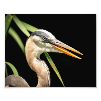 10x8 Great Blue Heron Photo Print