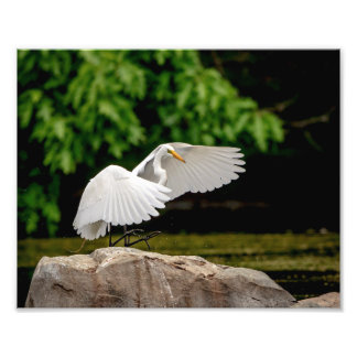 10x8 Great Egret Photo Print