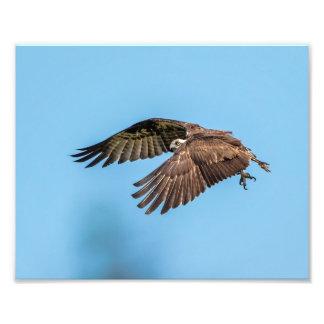 10x8 Osprey at Honeymoon Island State Park Photo Print