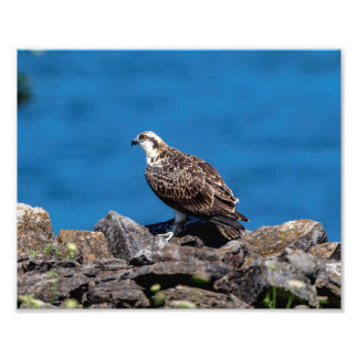 10x8 Osprey on the rocks Photo Print