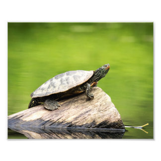 10x8 Painted Turtle on a log Photo Print