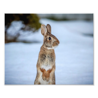10x8 Rabbit in the snow Photograph