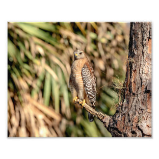 10x8 Red Shouldered Hawk in a tree Photo Art