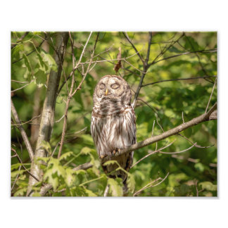 10x8 Sleepy Barred Owl Photo Print
