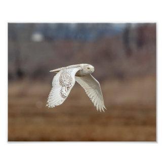 10x8 Snowy owl in flight Photo Print