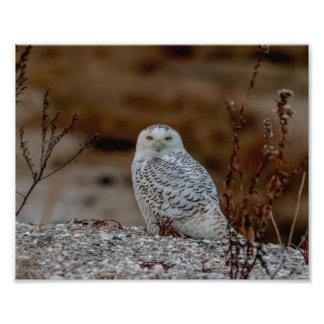 10x8 Snowy owl sitting on a rock Photo Print