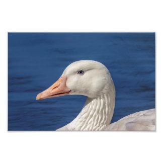 10x8 White Canadian Goose Photo Print