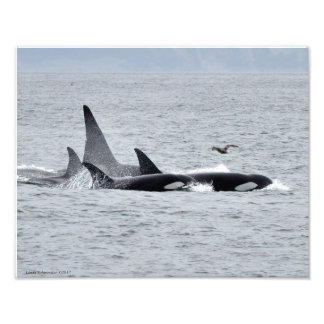 11X14 Orca Whales - Four in Unison with a Seagull Photo Print
