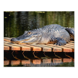 14x11 Alligator at Homosassa Springs Wildlife Park Photo