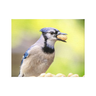 14x11 Blue jay with a peanut Canvas Print