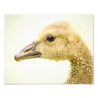 14x11 Canadian Goose (Gosling) Photo Print