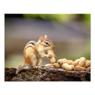 14x11 Chipmunk eating a peanut Photo Print