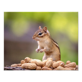 14x11 Chipmunk with peanuts Photo Print