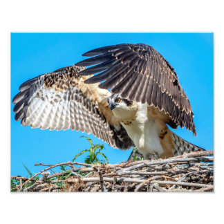 14x11 Juvenile Osprey in the nest Photo Print