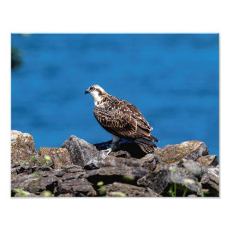 14x11 Osprey on the rocks Photo Print