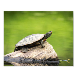 14x11 Painted Turtle on a log Photo Print