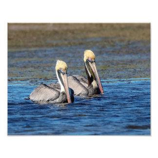 14x11 Pair of Pelicans Photo Print