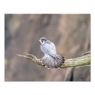 14x11 Peregrine Falcon at the Palisades Interstate Photo Print