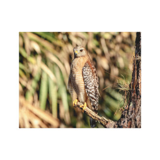 14x11 Red Shouldered Hawk in a tree Canvas Print