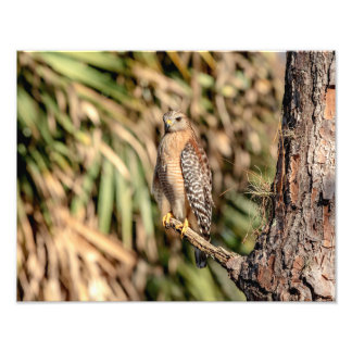 14x11 Red Shouldered Hawk in a tree Photo Art