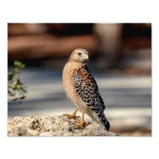 14x11 Red Shouldered Hawk on a rock Art Photo