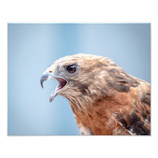 14x11 Red Shouldered Hawk Photo Print