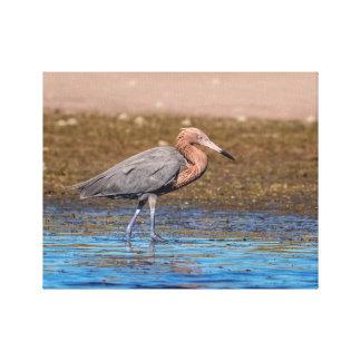 14x11 Reddish Egret on North Beach Canvas Print