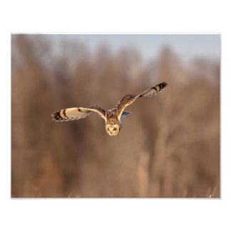 14x11 Short-eared owl diving towards the ground Photo Print