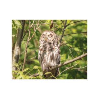 14x11 Sleepy Barred Owl Canvas Print