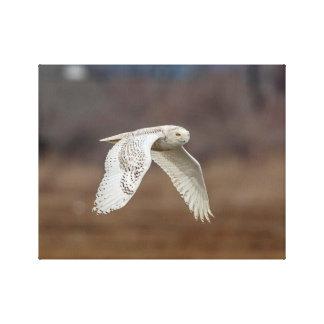 14x11 Snowy owl in flight Canvas Print