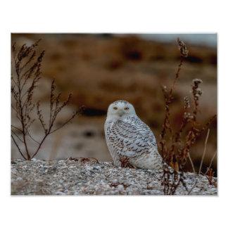 14x11 Snowy owl sitting on a rock Photo Print