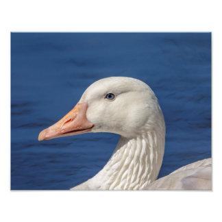 14x11 White Canadian Goose Photo Print