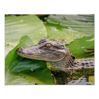14x11 Young Alligator Photo