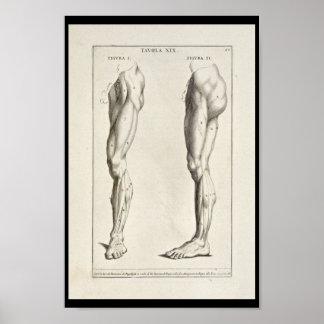 1691 Artistic Anatomy Leg Muscles Art Print