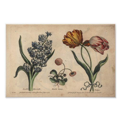 1757 Botanical Flower Art Print Tulip